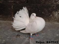diyarbakir_guvercini-fot.nejat_satici